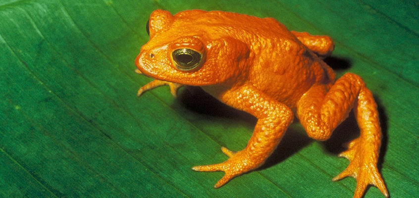 Endangered frog
